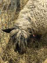 Leicester Longwool Sheep (correct me if I'm wrong)